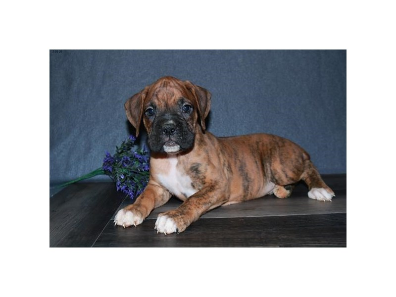 Boxer-Male-Mahogany-2652312-The Barking Boutique