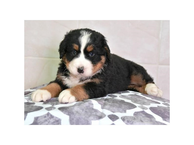 Bernese Mountain Dog-Male-Tri-Colored-2652313-The Barking Boutique