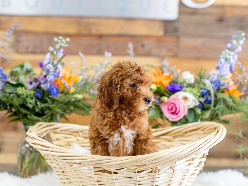 F1B Mini Goldendoodle-Female-Red-2650317-The Barking Boutique