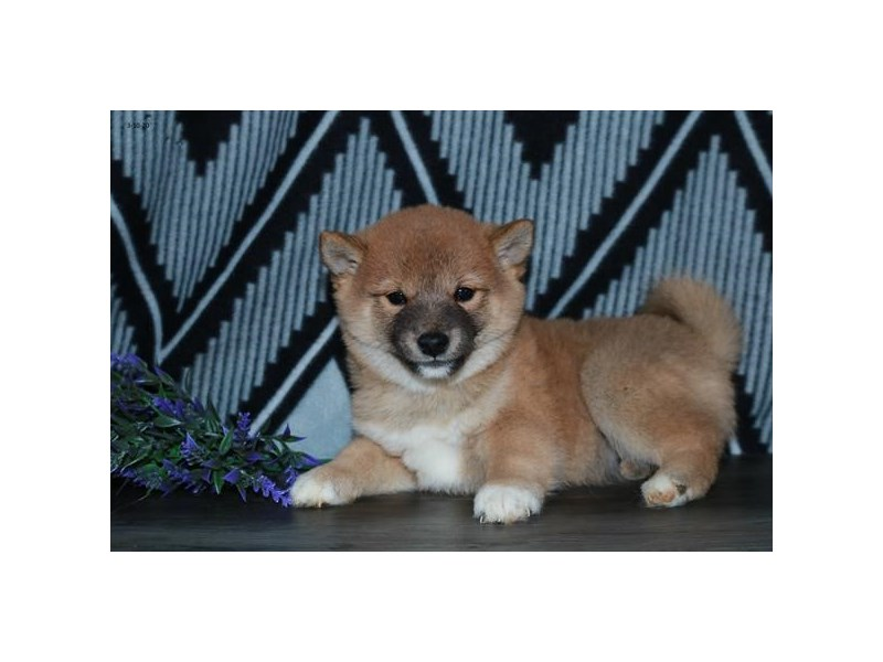 Shiba Inu-Female-Red-2658939-The Barking Boutique