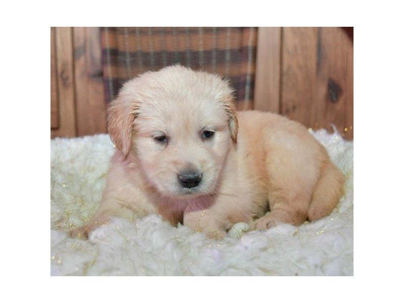 Golden Retriever-Female-Light Golden-2659092-The Barking Boutique