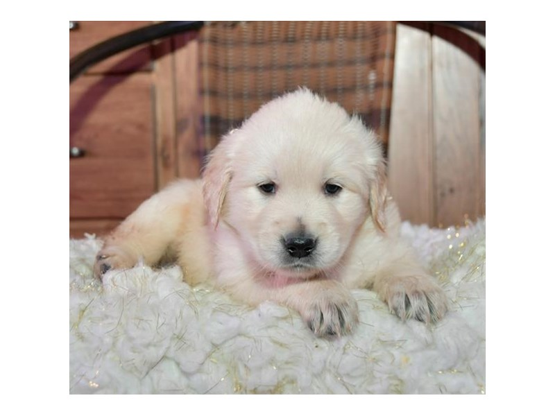 Golden Retriever-Male-Light Golden-2659093-The Barking Boutique