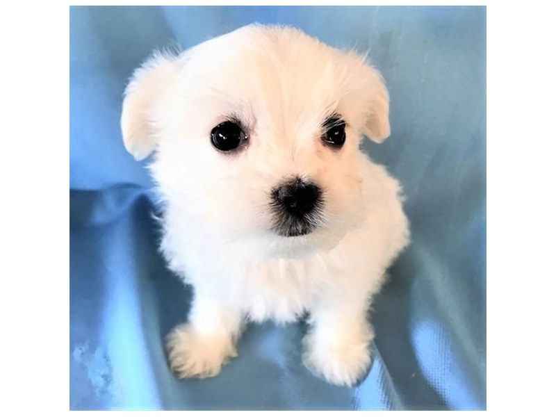 Maltese-Female-White-2659104-The Barking Boutique