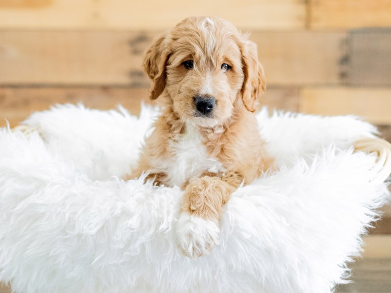 Goldendoodle-Male-Apricot-2658576-The Barking Boutique