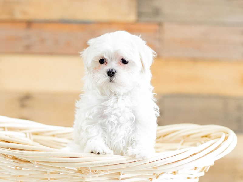 Maltese-Female-White-2658944-The Barking Boutique