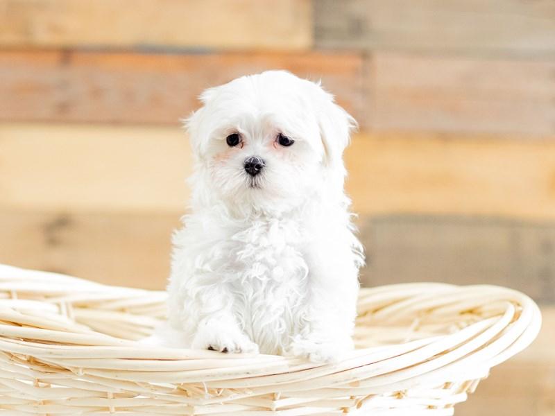 Maltese-Female-White-2658944-The Barking Boutique
