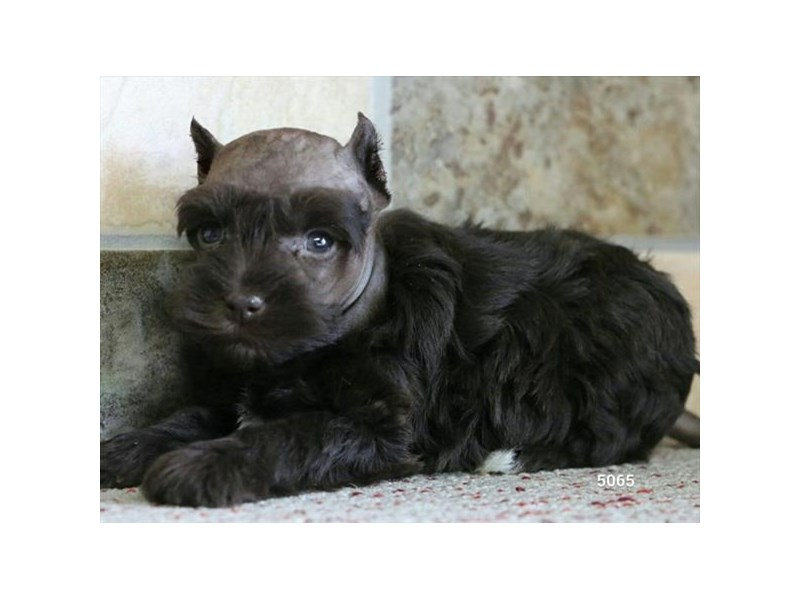 Miniature Schnauzer-Female-Chocolate-2697970-The Barking Boutique