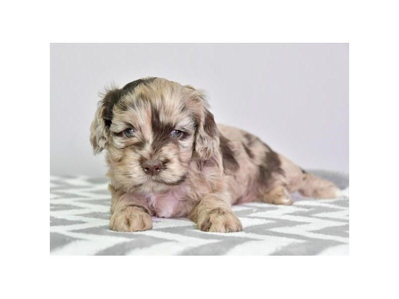 Cock A Poo-Female-Chocolate Merle-2698053-The Barking Boutique
