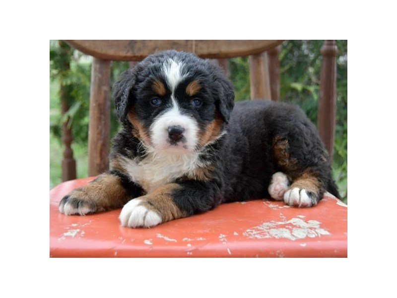Bernese Mountain Dog-Female-Tri-Colored-2698054-The Barking Boutique