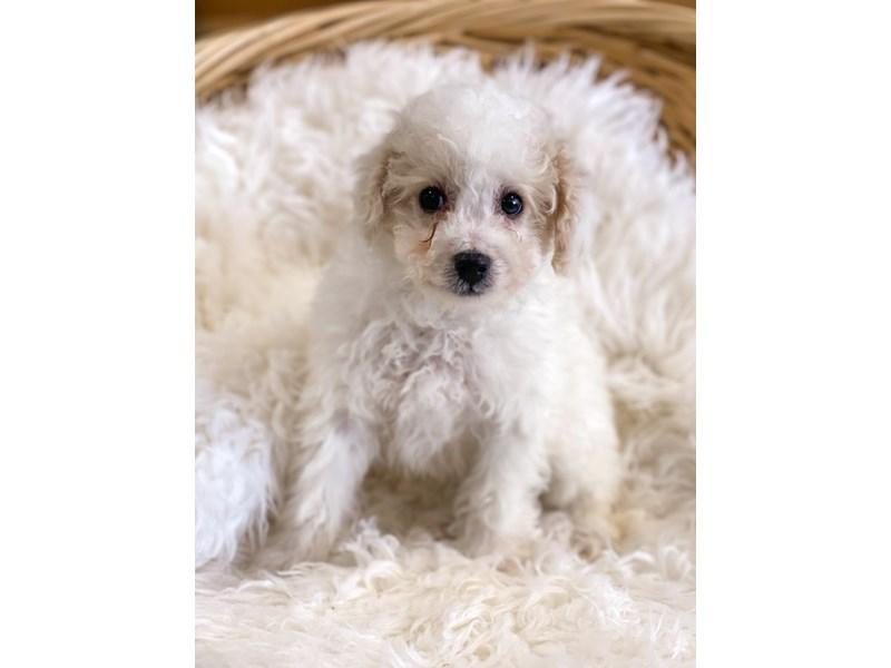 Poochon-Female-White / Cream-2698055-The Barking Boutique