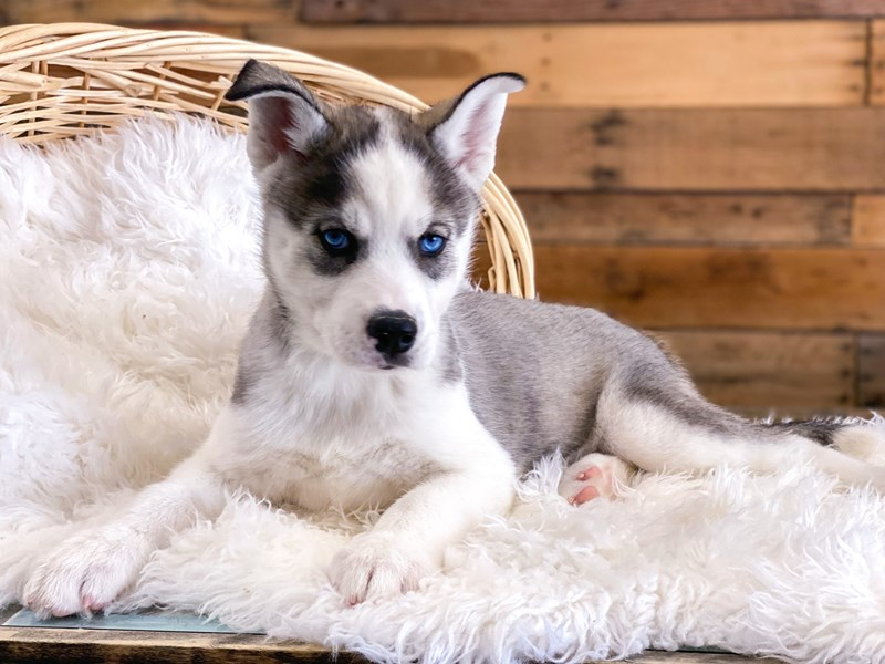 Siberian Husky-Male-Gray / White-2697971-The Barking Boutique