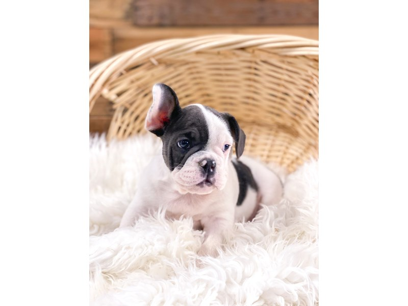 English French Bulldog-Male-Blue and White-2698746-The Barking Boutique