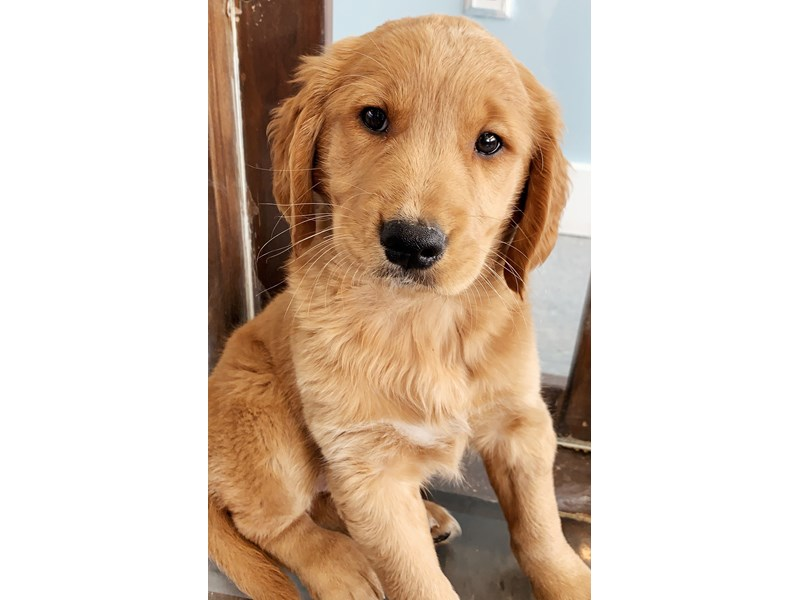 Golden Retriever-Female--2701970-The Barking Boutique