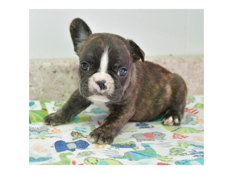 French Bulldog-Male-Brindle-2704695-The Barking Boutique