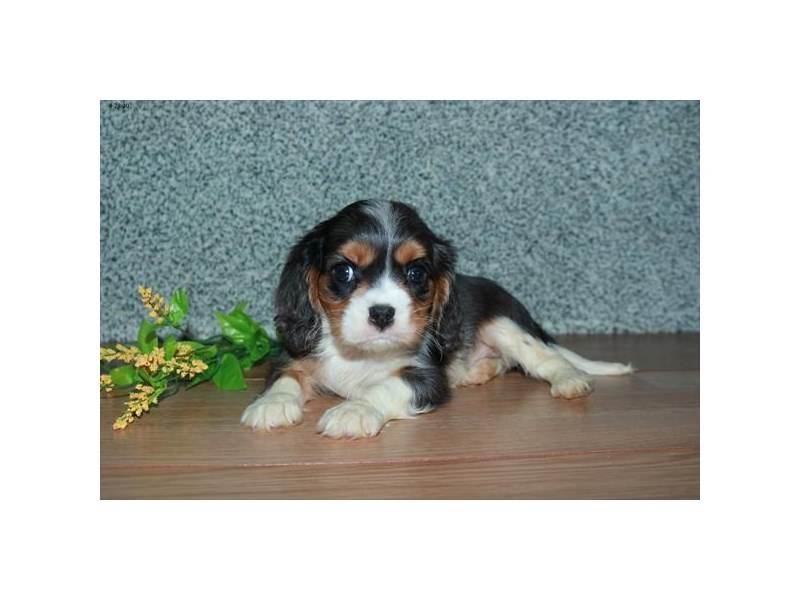 Cavalier King Charles Spaniel-Male-Blue Merle-2704698-The Barking Boutique