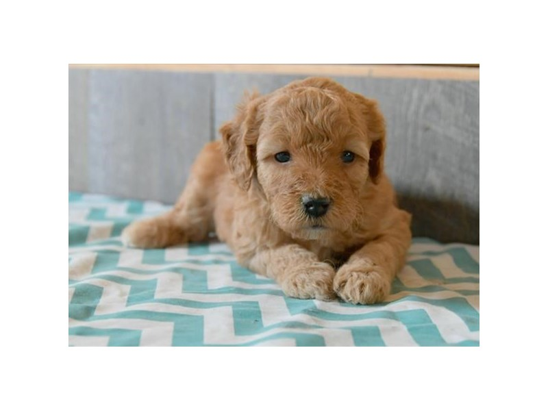Goldendoodle Mini 2nd Gen-Female-Light Red-2704726-The Barking Boutique