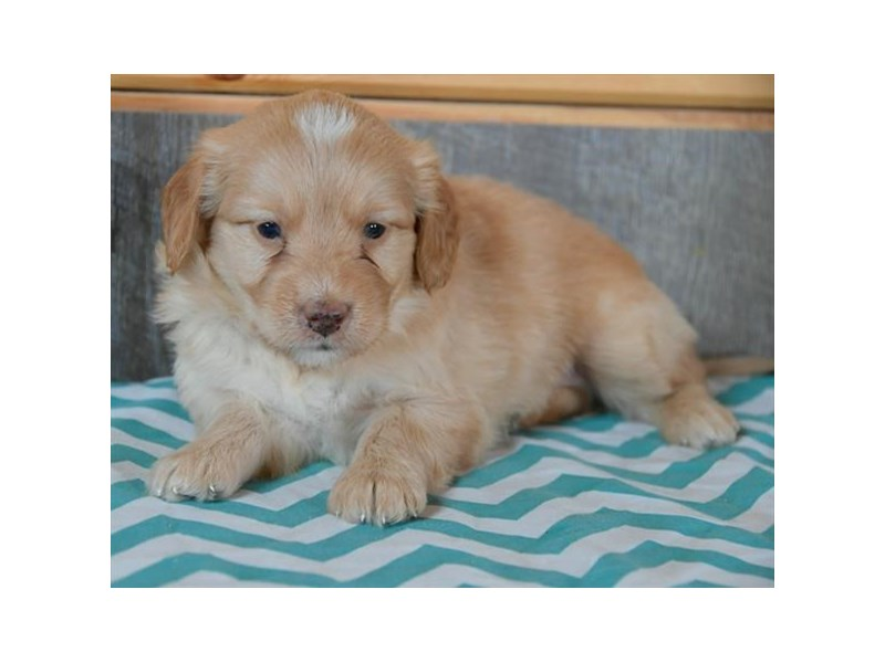Goldendoodle Mini 2nd Gen-Male-Apricot-2704727-The Barking Boutique