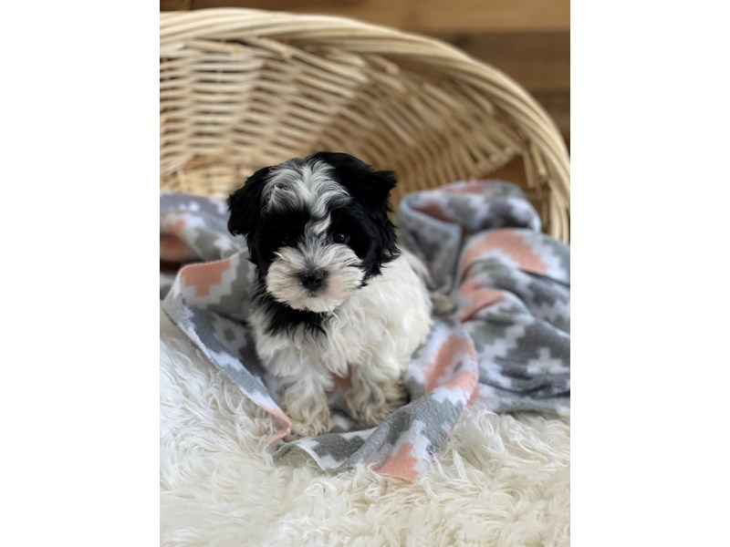 Biewer Morkie-Male-Black / Tan-2704822-The Barking Boutique