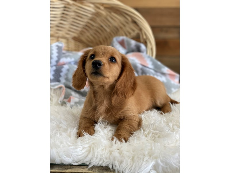 Dachshund-Male-Cream-2704694-The Barking Boutique