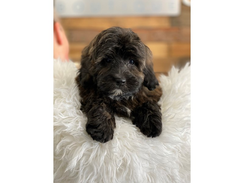 Lhasa Apso/Poodle – Cloudy