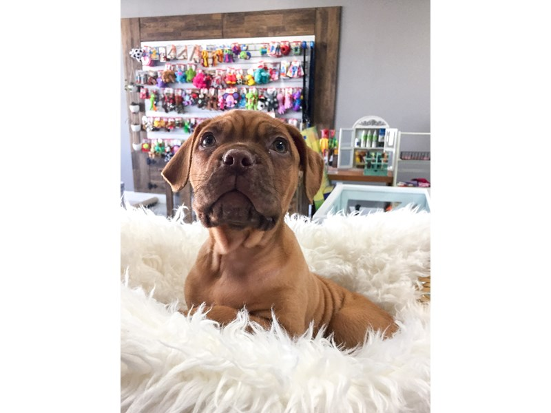 Dogue De Bordeaux-Male-Red-2708923-The Barking Boutique