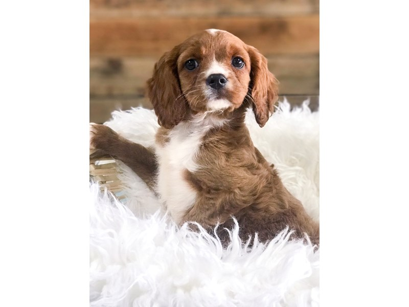 Cavapoo-Female--2708855-The Barking Boutique
