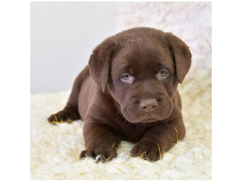 Labrador Retriever-Male-Chocolate-2711343-The Barking Boutique