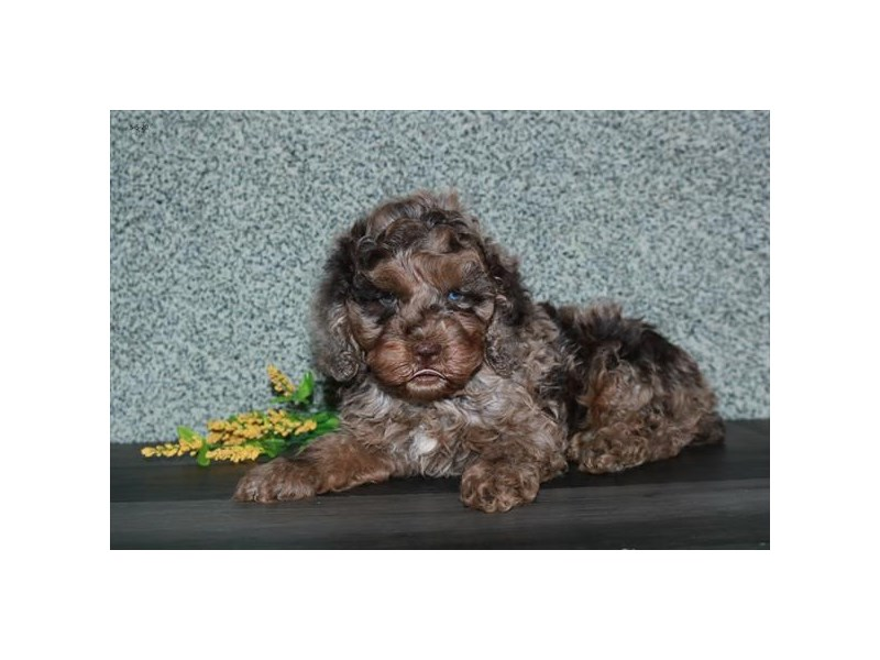 Cock A Poo 2nd Gen-Male-Chocolate Merle-2711345-The Barking Boutique