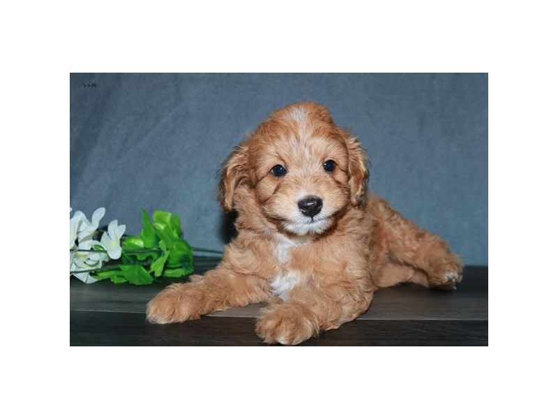 Poodle/Toy Australian Shepherd-Male-Sable-2711412-The Barking Boutique