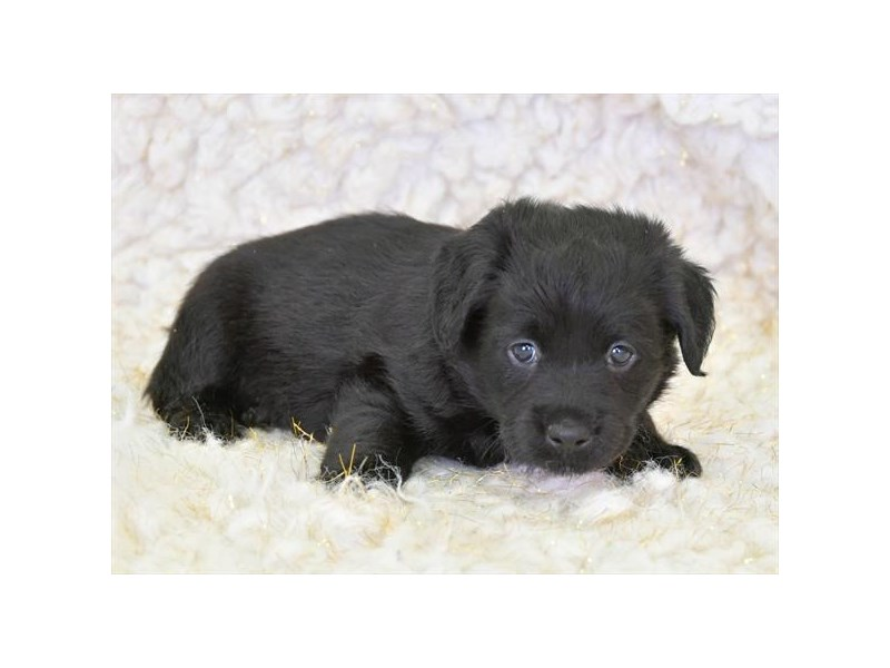 Mini Labradoodle-Male-Black-2711414-The Barking Boutique