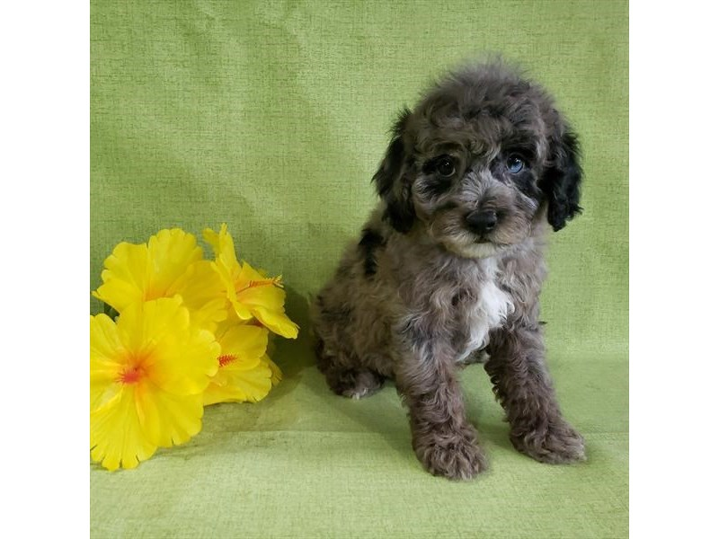 Poodle-Male-Blue Merle-2711415-The Barking Boutique