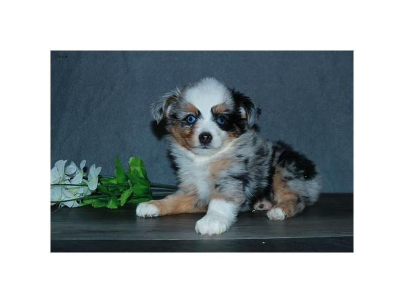 Toy Australian Shepherd-Female-Blue Merle-2711417-The Barking Boutique