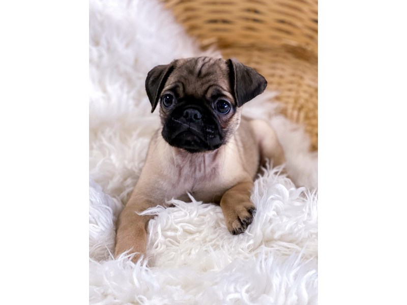 Pug-Male-Fawn-2711342-The Barking Boutique