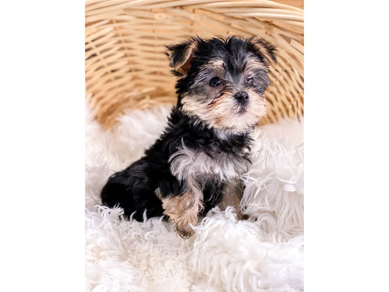 Morkie-Female-Black / Tan-2711420-The Barking Boutique