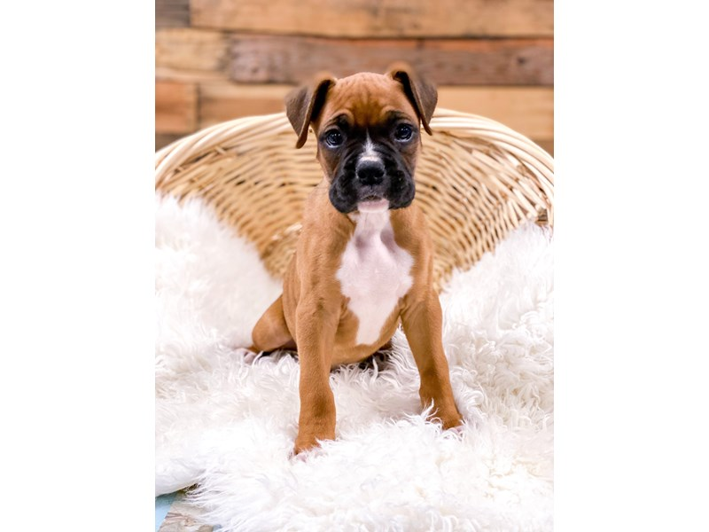 Boxer-Male--2715323-The Barking Boutique