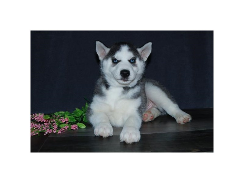 Siberian Husky-Male-Black / White-2717630-The Barking Boutique