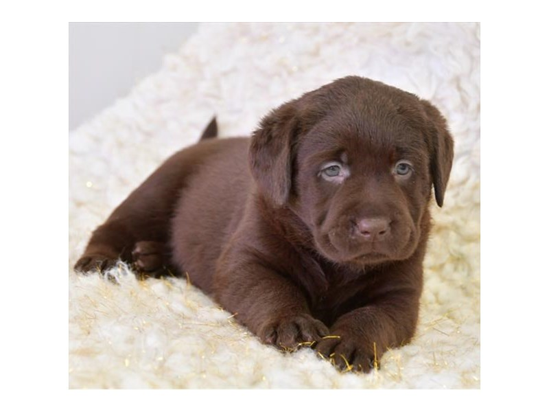 Labrador Retriever-Male-Chocolate-2717631-The Barking Boutique