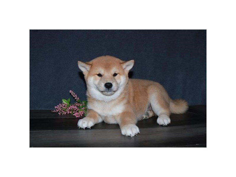 Shiba Inu-Male-Red-2717632-The Barking Boutique