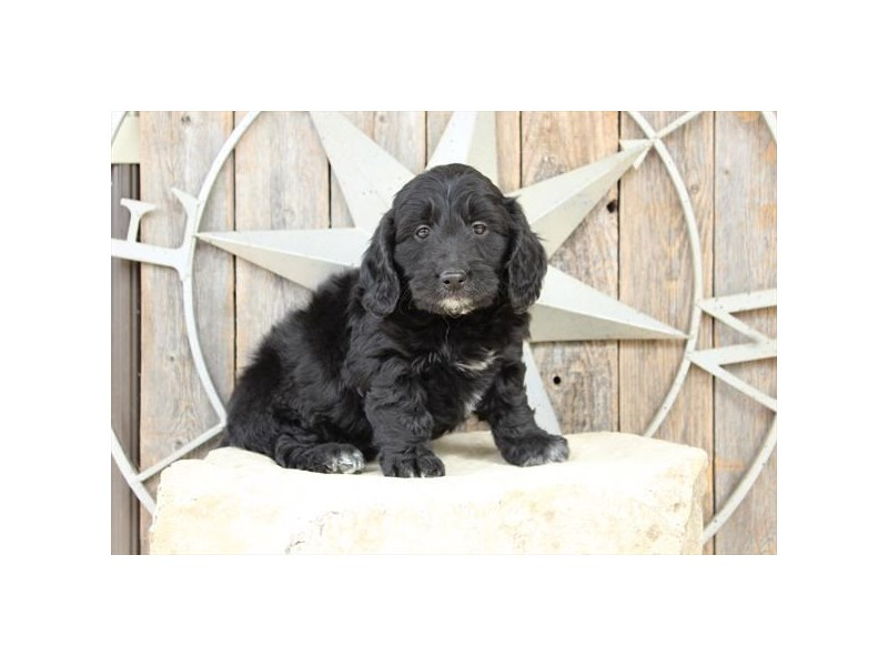 Goldendoodle Mini-Female-Black-2717734-The Barking Boutique