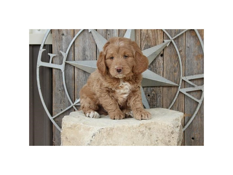 Goldendoodle Mini-Male-Tan-2717735-The Barking Boutique