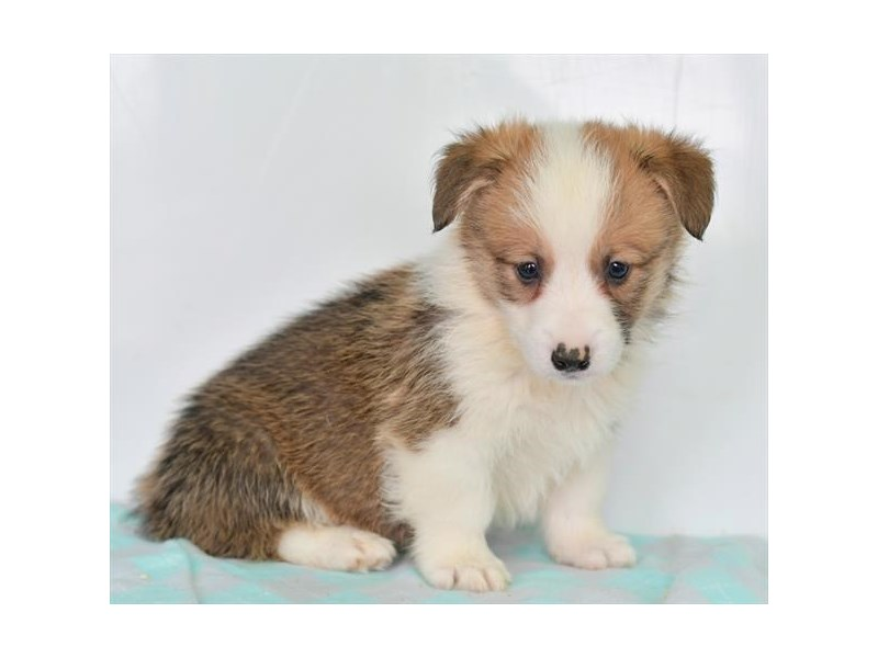 Pembroke Welsh Corgi-Male-Sable / White-2724961-The Barking Boutique