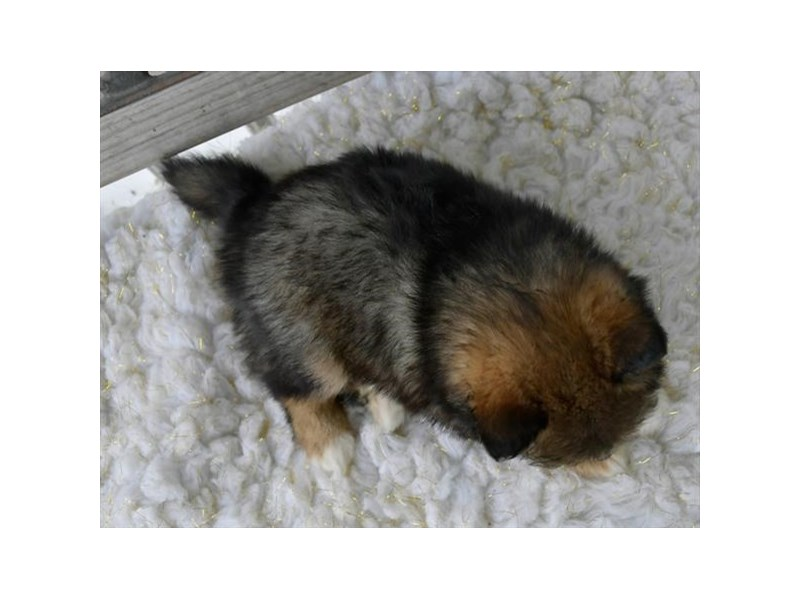 Pomsky-Female-Black / Tan-2724965-The Barking Boutique