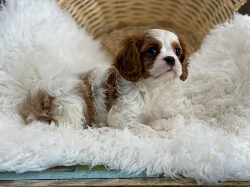 Cavalier King Charles Spaniel-Female-Blenheim-2722317-The Barking Boutique
