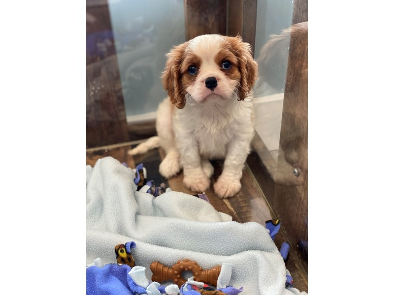 Cavalier King Charles Spaniel-Male-Blenheim-2722292-The Barking Boutique
