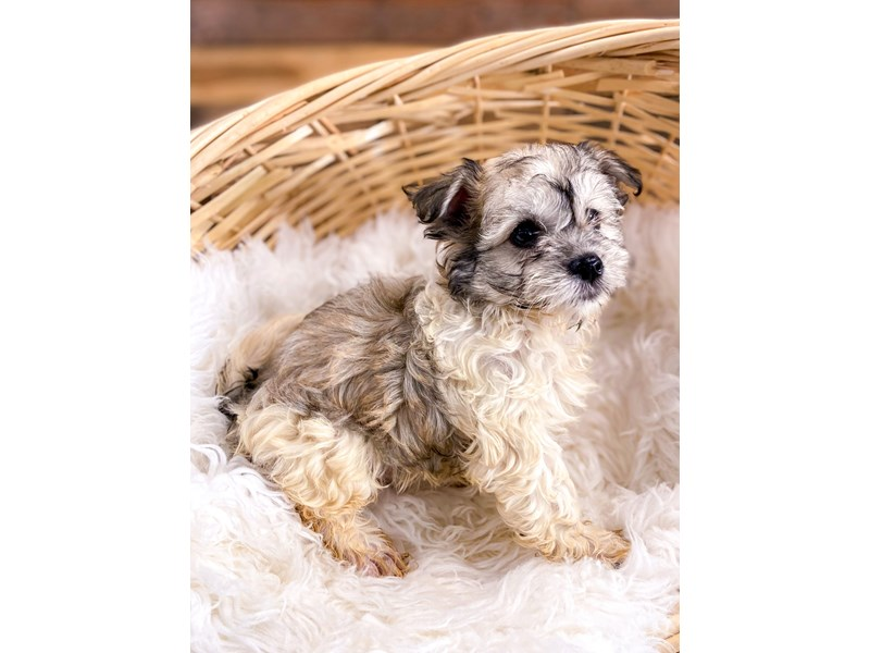 Havanese-Female-Party-2729151-The Barking Boutique