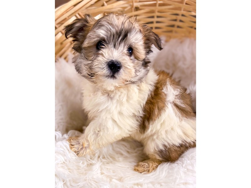 Havanese-Male-Party-2729143-The Barking Boutique