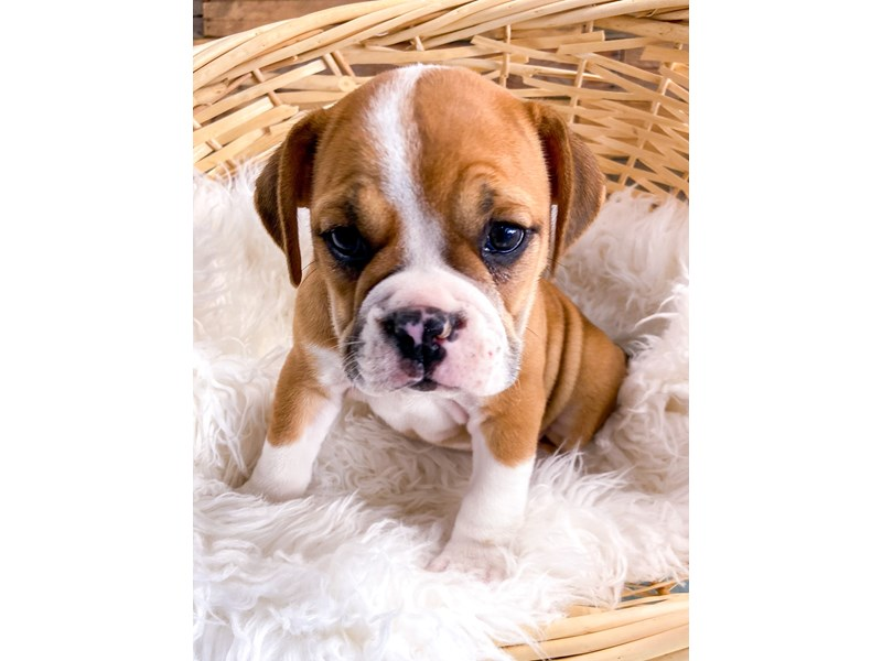 Beabull-Female-Red & White-2728942-The Barking Boutique