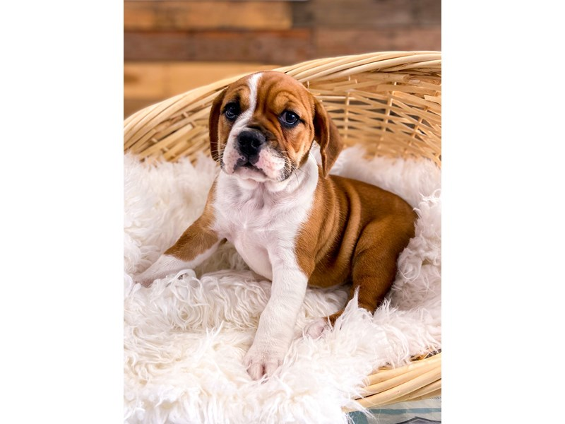 Beabull-Female-Red &White-2728922-The Barking Boutique