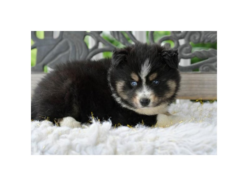 Pomsky-Male-Black-2731913-The Barking Boutique