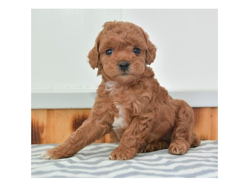 Poodle-Female-Red-2731914-The Barking Boutique